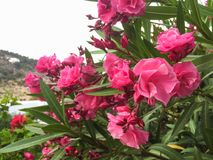 Nerium oleander plant with pink flowers. Beautiful vibrant pink oleander Nerium flower details with green leaves on healthy plant in Cala Llonga garden, Ibiza stock image