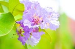 Nerium oleander, rose bay ,purple flower, flower Royalty Free Stock Images