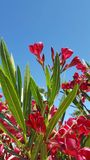 Nerium oleander is a shrub or small tree in the dogbane family Apocynaceae, toxic in all its parts. It is the only species current Royalty Free Stock Image