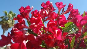 Nerium oleander is a shrub or small tree in the dogbane family Apocynaceae, toxic in all its parts. It is the only species current Stock Photography