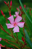Nerium oleander summertime flowers in white red pink  blur. Oleander is toxic  do not ingest Contact with skin may cause reaction Use for screens informal hedges Royalty Free Stock Photos