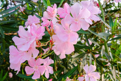 Nerium, Oleander, Sweet Oleander, Rose Bay. Oleander flowers bloom outside a house in Thailand Stock Photos