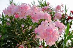 Nerium, Oleander, Sweet Oleander, Rose Bay. Oleander flowers bloom outside a house in Thailand Stock Images