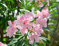 Nerium oleander tree and flowers Royalty Free Stock Photo