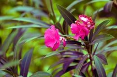 Nerium oleanderu drzewo zdjęcie stock