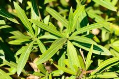 Nerium oleanderu liście Obraz Stock