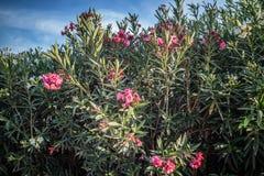 Nerium Oleandrowy drzewo w Yuma, Arizona obraz stock