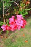 Nerium oleandrowy kwiat Obrazy Stock