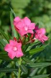 Nerium oleandrowy kwiat Fotografia Royalty Free