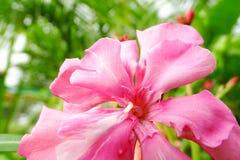 Neriumoleanderblume lizenzfreie stockfotografie