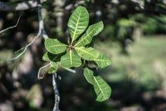 Nerkodrzewu liść na nerkodrzewu drzewie zdjęcie stock