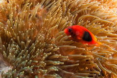 Nero fish with soft coral. In Andaman, Thailand Royalty Free Stock Photos