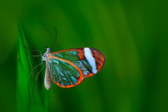 Nero Glasswing, Greta nero, Close-up of transparent glass wing butterfly on green leaves, scene from tropical forest, Costa Rica,. South America Royalty Free Stock Images