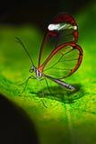 Nero Glasswing, Greta-nero, Nahaufnahme des transparenten Glasflügelschmetterlinges auf grünen Blättern, Szene vom tropischen Wal stockfoto
