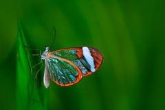 Nero Glasswing, nero Greta, конец-вверх прозрачной стеклянной бабочки на зеленых листьях, сцены крыла от тропического леса, Коста Стоковые Изображения RF