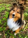 Nero scuro femminile del cane pastore di Shetland Fotografie Stock