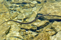 nerodia北sipedon蛇水 免版税图库摄影