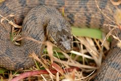Nerodia rhombifer. A close up image of a diamondback water snake from northern Missouri royalty free stock photos