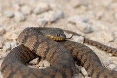 Nerodia rhombifer. A diamondback water snake with a light gray gravel background stock photography