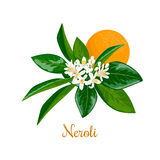 Neroli. bitter orange tree, twig, flowers and fruit Stock Images