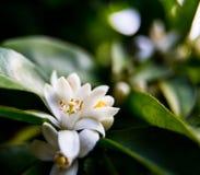 Neroli Feuilles lumineuses vertes d'arbre orange et neroli orange de fleur avec des gouttes de pluie, fond de rosée photos libres de droits