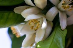 Neroli Feuilles lumineuses vertes d'arbre orange et neroli orange de fleur avec des gouttes de pluie, fond de rosée photographie stock libre de droits