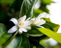 Neroli Feuilles lumineuses vertes d'arbre orange et neroli orange de fleur avec des gouttes de pluie, fond de rosée images stock