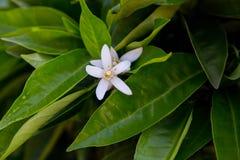 Neroli Feuilles lumineuses vertes d'arbre orange et neroli orange de fleur avec des gouttes de pluie, fond de rosée photographie stock