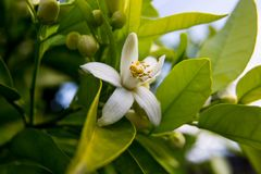 Neroli. Green bright orange tree leaves and orange flower neroli with raindrops, dew background stock photos