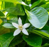 Neroli. Green bright orange tree leaves and orange flower neroli with raindrops, dew background royalty free stock photos