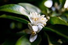 Neroli Groene heldere oranje boombladeren en oranje bloemneroli met regendruppels, dauwachtergrond royalty-vrije stock foto's