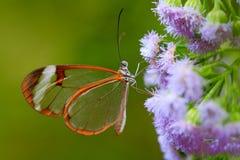 Nerone Glasswing, nero di Greta, primo piano della farfalla di vetro trasparente sulle foglie verdi, scena dell'ala dalla foresta Immagini Stock Libere da Diritti