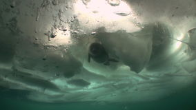 Nerpa in underwater ice of Lake Baikal in Siberia, Russia. stock footage