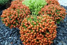 Nerta maravilhoso Granandenzis da planta para o projeto do jardim foto de stock royalty free