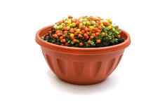 Nertera plant in flowerpot. Isolated on white background Royalty Free Stock Photography