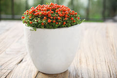 Nertera in White Pot Stock Image
