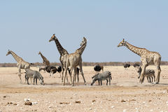 Nervösa giraff och annat djurliv som söker efter ett lejon Royaltyfria Foton