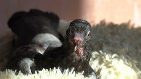 Nervöse Zecke im Vogel stock footage