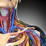 Nervöst och cirkulations- system för Male hals stock illustrationer