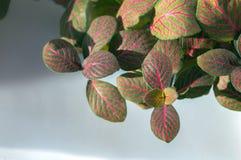 Nerv-Anlagen-fittonia albivenis mit roten Adern Stockbild
