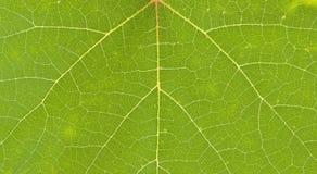 Nervation on grape leaf Stock Photo