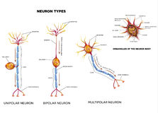 Nerve cell types and organelles Royalty Free Stock Photo