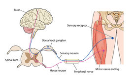 Nerve control of muscle. Control of muscle showing nerve paths from the brain through the spinal cord and peripheral nerves stock illustration