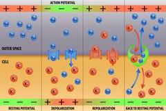 Nerve impulse action potential of neuron. Nerve impulse action potential in neuron scheme vector illustration Royalty Free Stock Photo