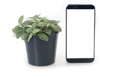 Nerve plant on flowerpot and blank screen of smartphone, tablet, cell phone on isolated white background. Fittonia verschaffeltii on pot, concept of saving royalty free stock photos