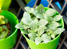 Nerve Plant Or Mosaic Plant In Bright Green Pot. Royalty Free Stock Photo