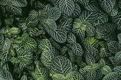 Nerve plant, Scientific name: Fittonia verschaffeltii Lem., royalty free stock image