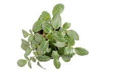 Nerve plant Stock Images