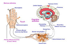 Nerve Response to pain and touch Stock Photo