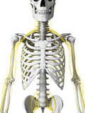 Nerven und Skelett Stockfoto